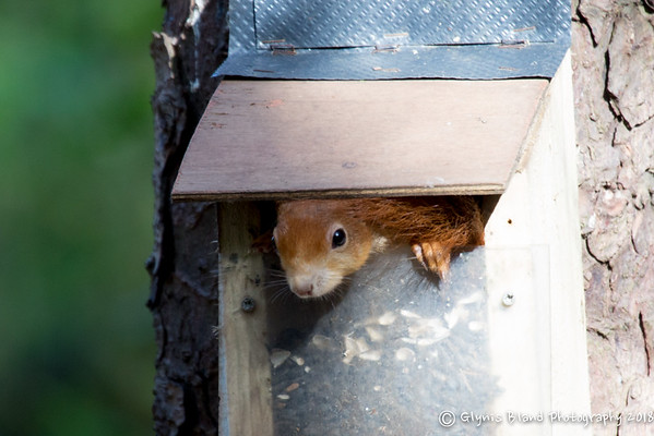 Anglesey Red Squirrels