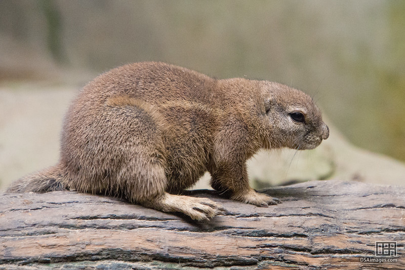 South African Ground Squirrel (Xerus inauris)