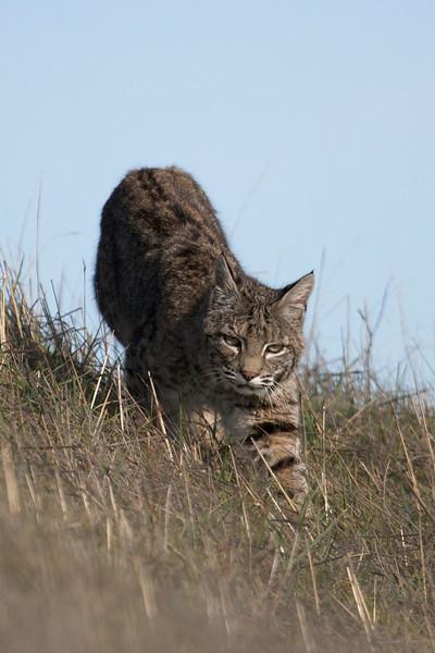 Bobcat, 12.29.08 - 01.04.09 - Marin County