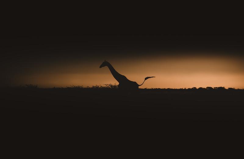 giraffeetosha (1 of 1).jpg