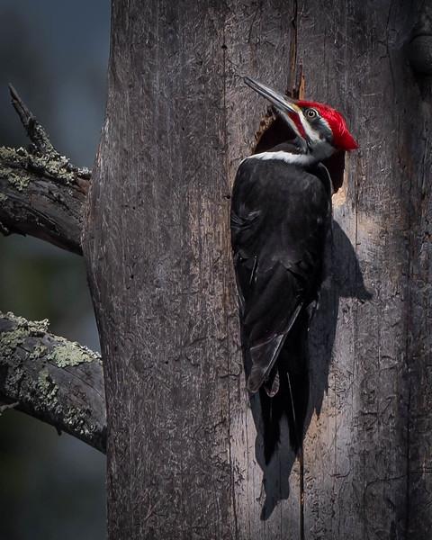 _5008587-Edit Pileated Woodpecker.jpg