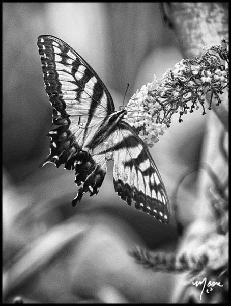 monochromebutterfly.jpg