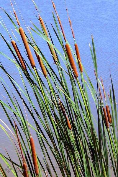 Cattails in the Wetlands - Judith Sparhawk