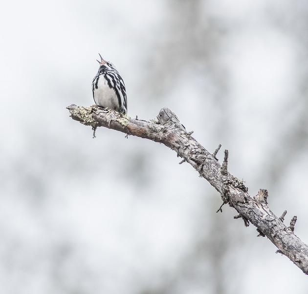 Black-and-white Warbler Wednesday Sax-Zim Bog MN-07166.jpg