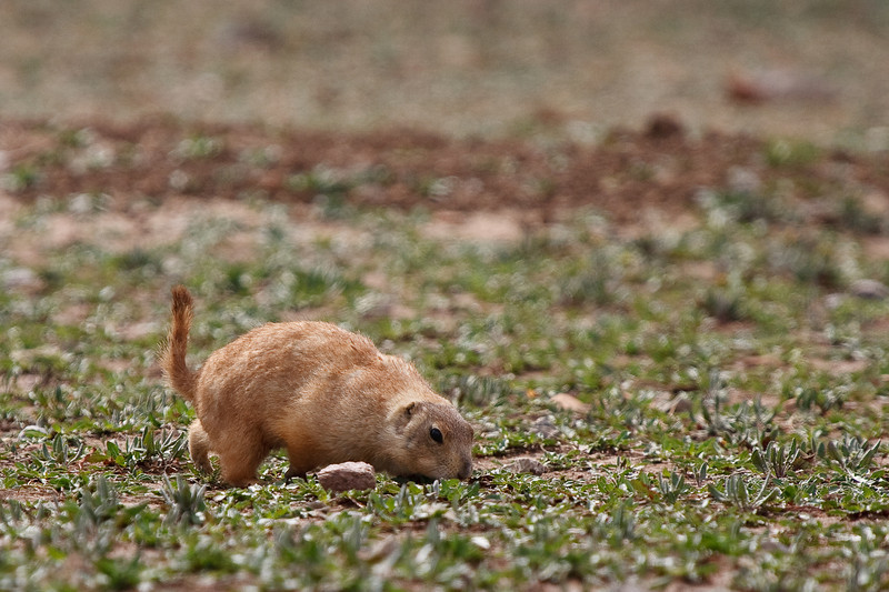 Prairie Dog-8