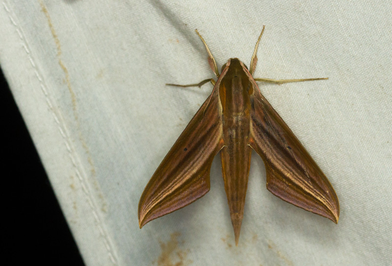 Sphinx moth from Panama.