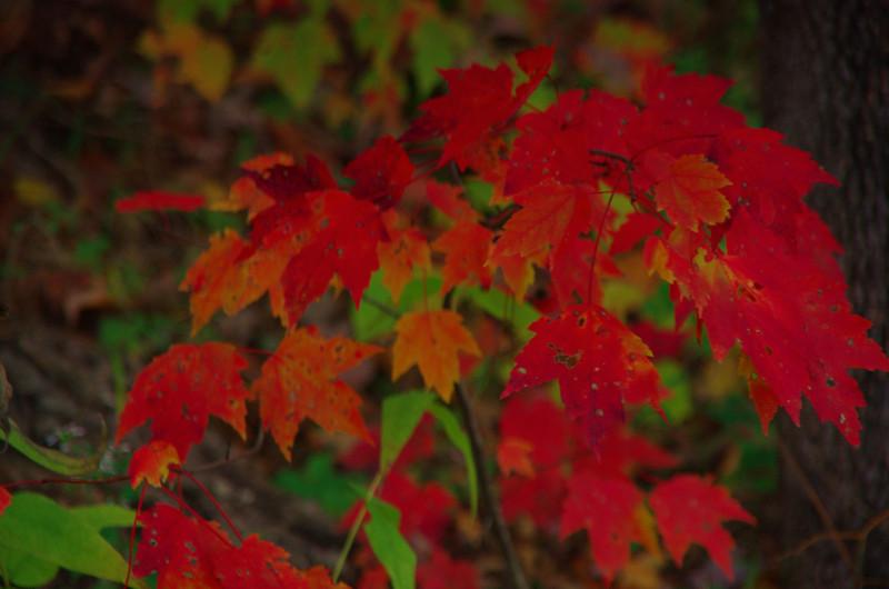 Fire Maple.jpg