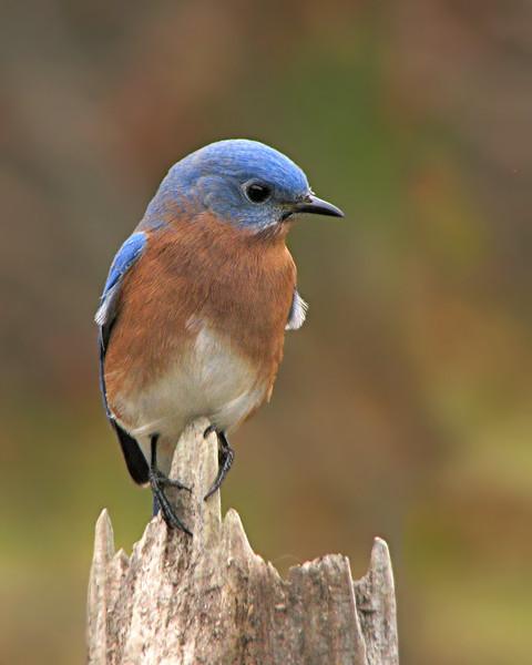 bluebird_8132.jpg