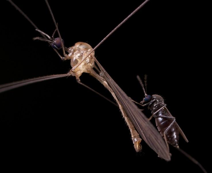 Cranefly parasitized by ceratopogonid midge