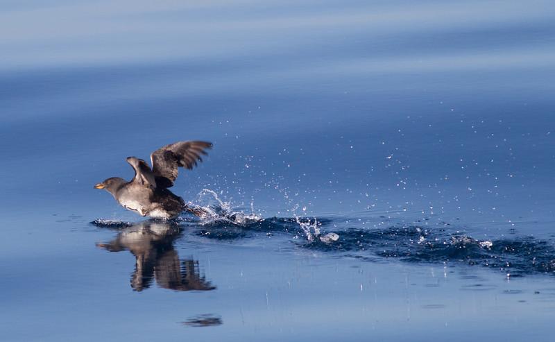 Rhinoserous Auklet   Orange County Waters  2014 01 11-1673.CR2