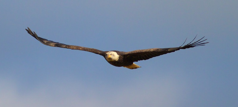 Bald Eagle flying at deer carcass along CR4 Carlton Co MN IMG_9540.jpg