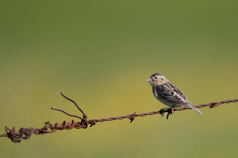 Grasshopper Sparrow - San Benito County, CA, USA