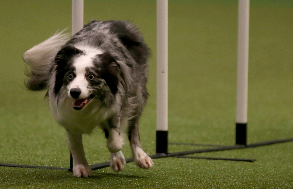 Description of . A dog competes in the agility competition on the second day of the Crufts dog show at the NEC on March 7, 2014 in Birmingham, England. Said to be the largest show of its kind in the world, the annual four-day event, features thousands of dogs, with competitors traveling from countries across the globe to take part. Crufts, which was first held in 1891 and sees thousands of dogs vie for the coveted title of 'Best in Show'.  (Photo by Matt Cardy/Getty Images)