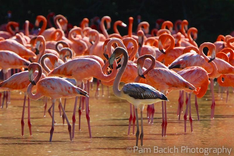 Flamingos Waiting