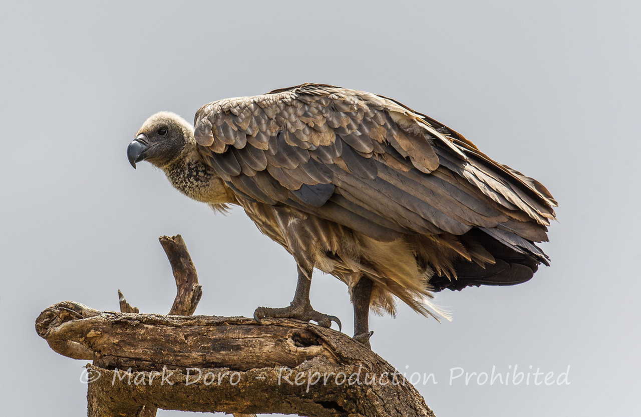 African White-backed Vulture (Immature), Lake Manyara, Tanzania