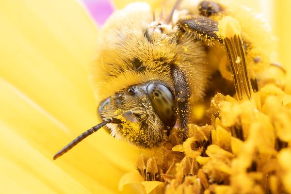 Longhorn Bees