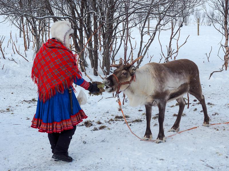 Reindeer in Northern Norway