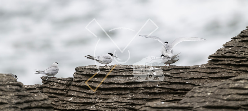 Active terns, two of them mating, of the white-fronted tern colony at Pancake rocks, New Zealand.