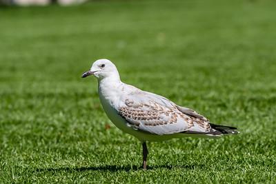 Silver Gull [Chroicocephalus novaehollandiae]