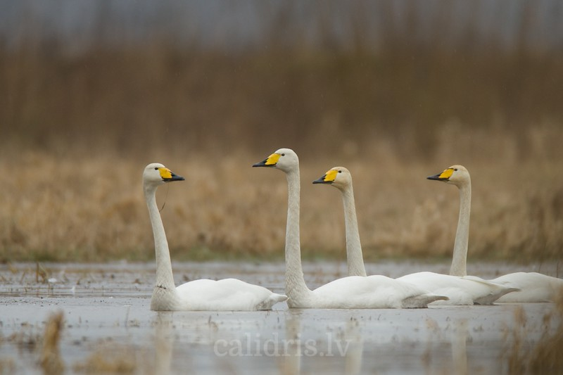 Adult whooper swans swim in flooded field on a rainy day