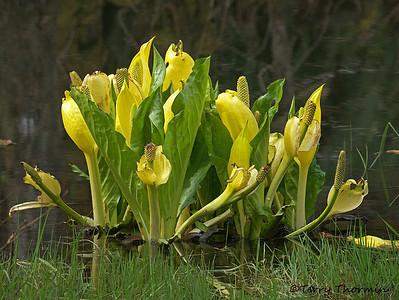 Arum or Calla-lily family, Araceae
