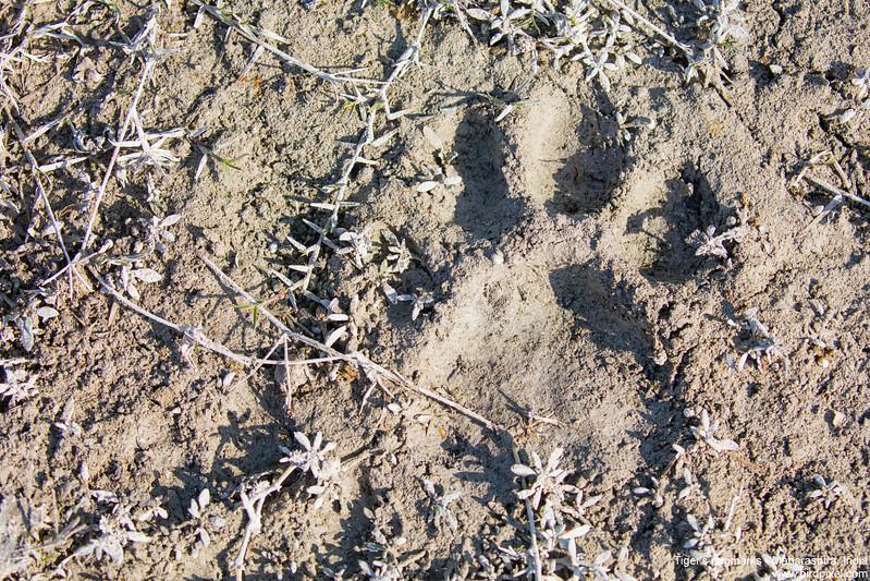Tiger's pugmarks - Maharashtra, India