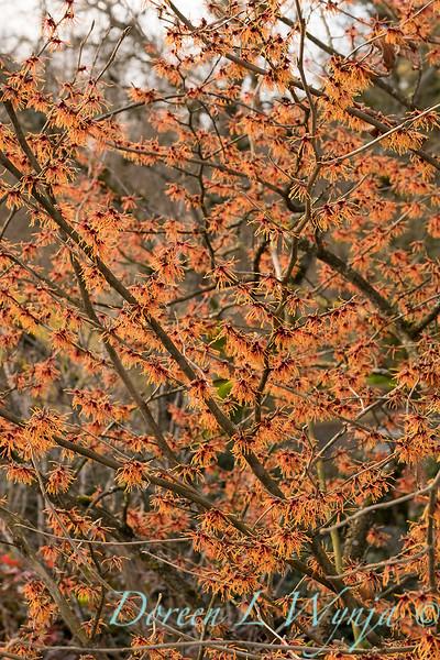 Hamamelis x intermedia 'Jelena' _3845.jpg