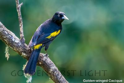 Golden-winged Cacique, Intervales State Park, Brazil