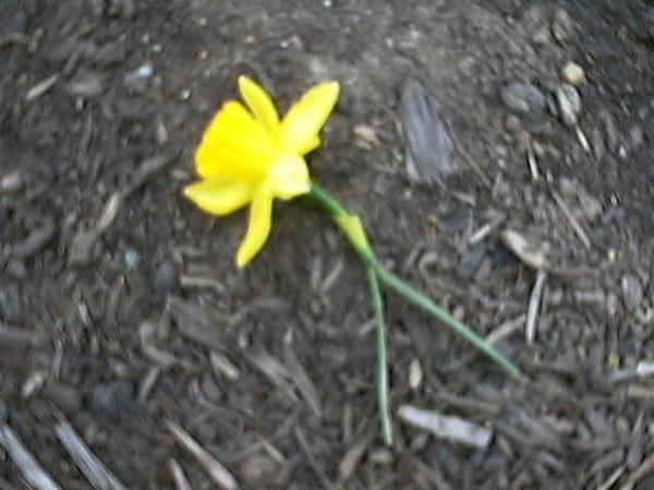 daffodil1