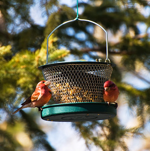 Purple Finches  Taken April 22, 2011 Elk Island Retreat Near Fort Saskatchewan, Alberta