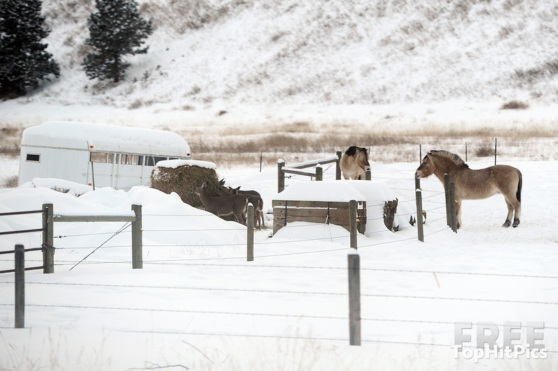 Winter Ponies In Montana, USA