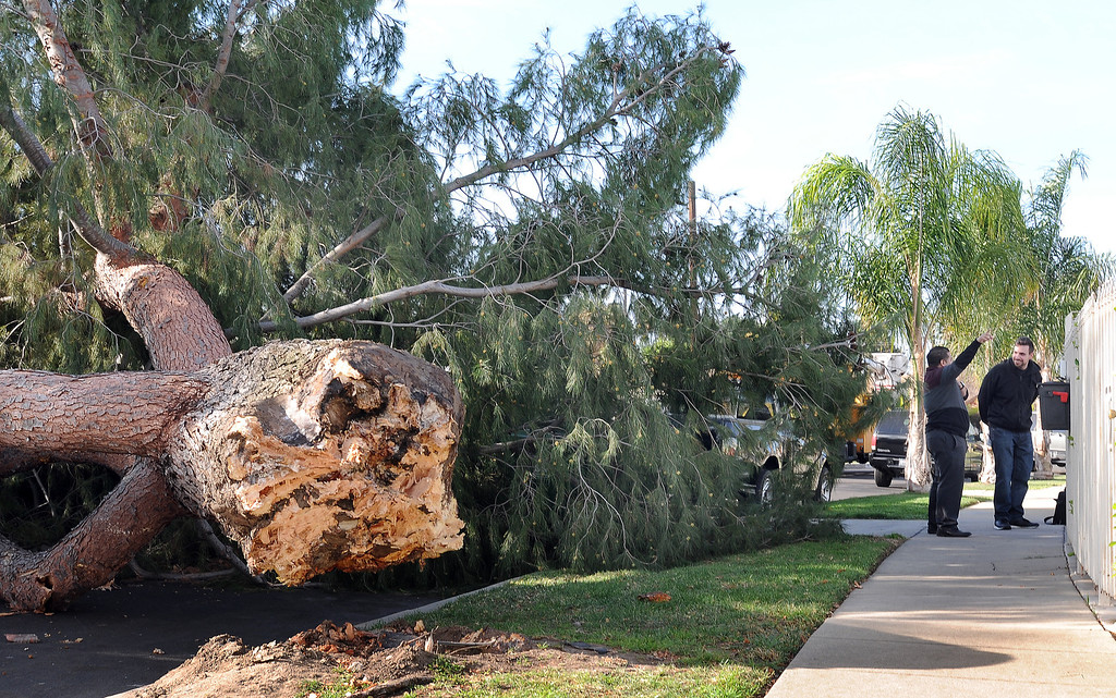 . A large pine tree fell across the 7800 block of  Chastain Ave., in Reseda, CA sometime after midnight on February 20, 2014.  The tree damaged a couple of vehicles and knocked out electricity to the neighborhood. Area resident Ivan Lopez points upward.  (Photo by Dean Musgrove/Los Angeles Daily News)