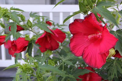Large Flowers, East Broad Street, Tamaqua (7-25-2013)
