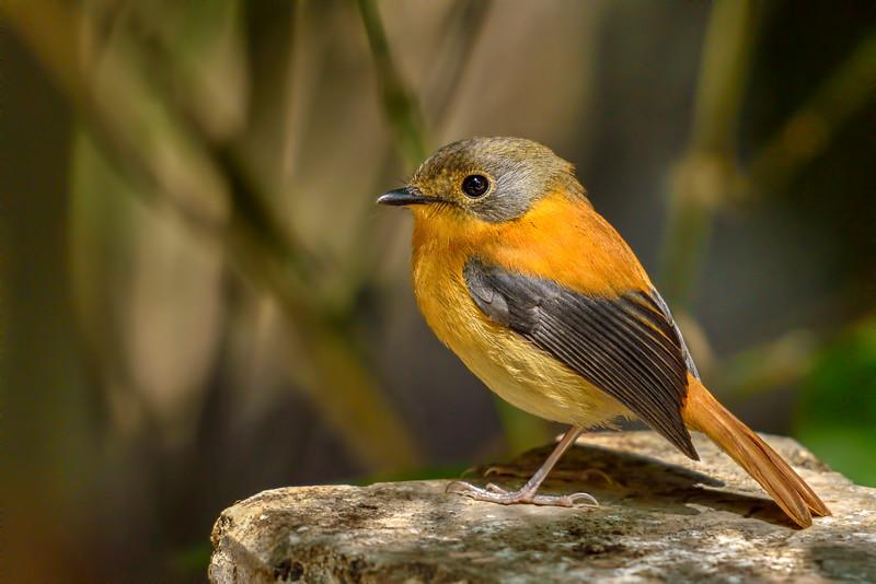 Black-and-orange-flycatcher-female-2.jpg