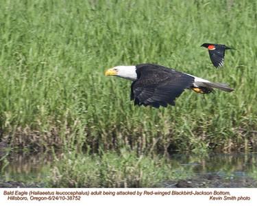 BaldEagleA&RedWingeBlackbird38757.jpg