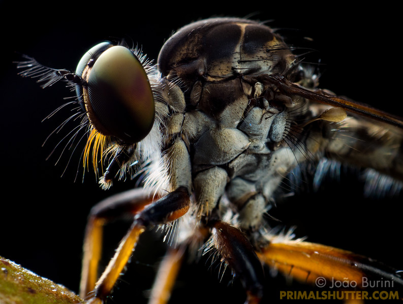 Details of a hairy robberfly