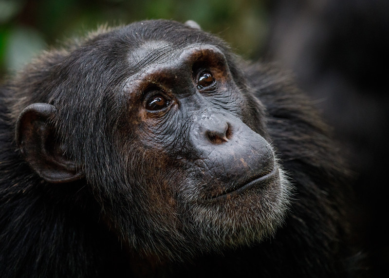 African_Apes_0218_PSokol-1092.jpg