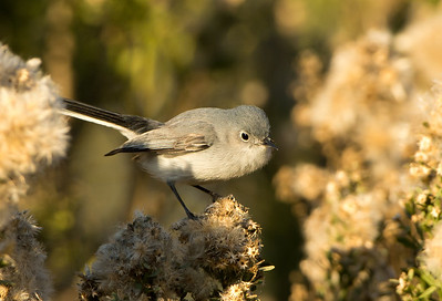 Blue-gray Gnatcatcher (<em>Polioptila caerulea</em>)