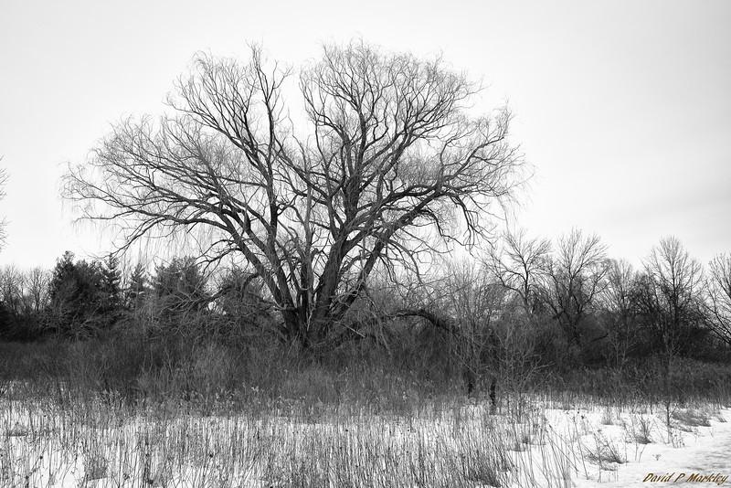 Branch Bulge