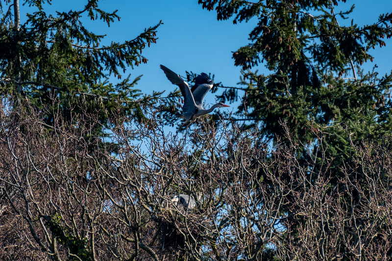 Grey Heron leaves the nest-17.jpg