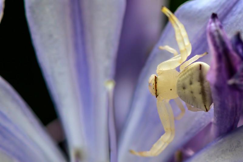 Crab-Spider-1.jpg