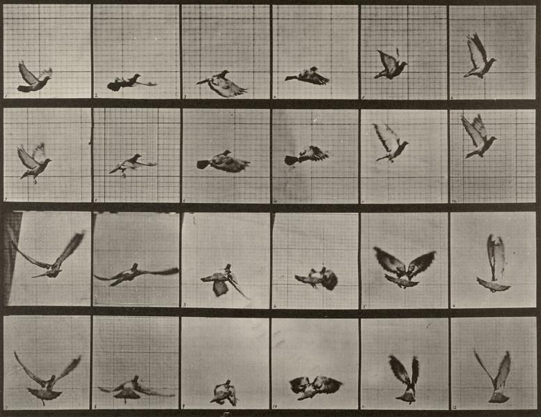 Pigeon flying (Animal Locomotion, 1887, plate 757)