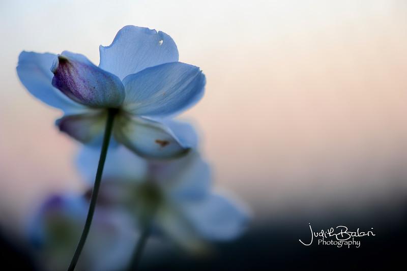 rosas-anemonas 104.jpg