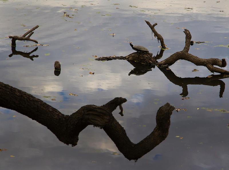 lone turtle.jpg