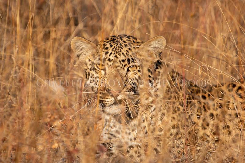 LeopardSnarl.jpg
