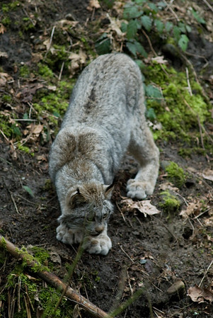 Wildlife Photography - Images of Lynx and Bob Cats
