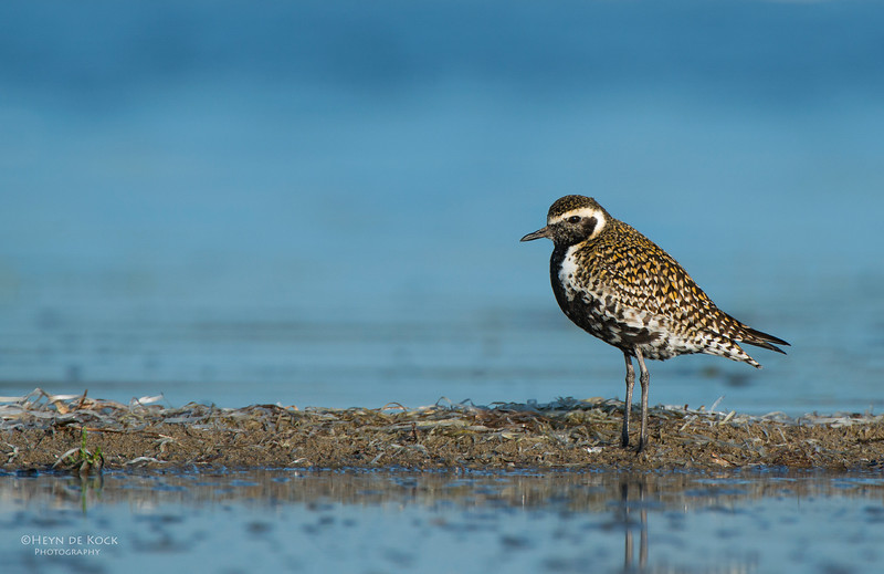 Pacific Golden-plover, Shoalhaven Heads, NSW, March 2013-1.jpg