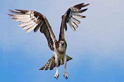 May 30, 2010 - Osprey in Flight