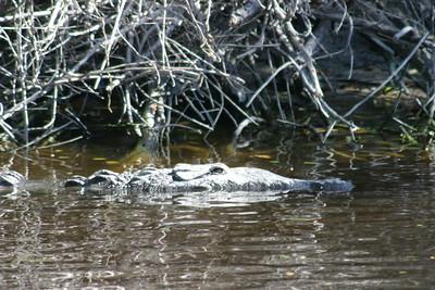 American Crocodile (1)