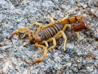 Rough Thicktailed Scorpion (Parabuthus granulatus)